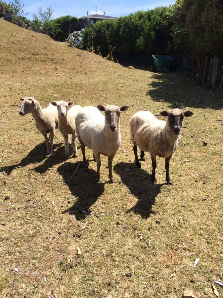 sheep in New Zealand. a travel blog