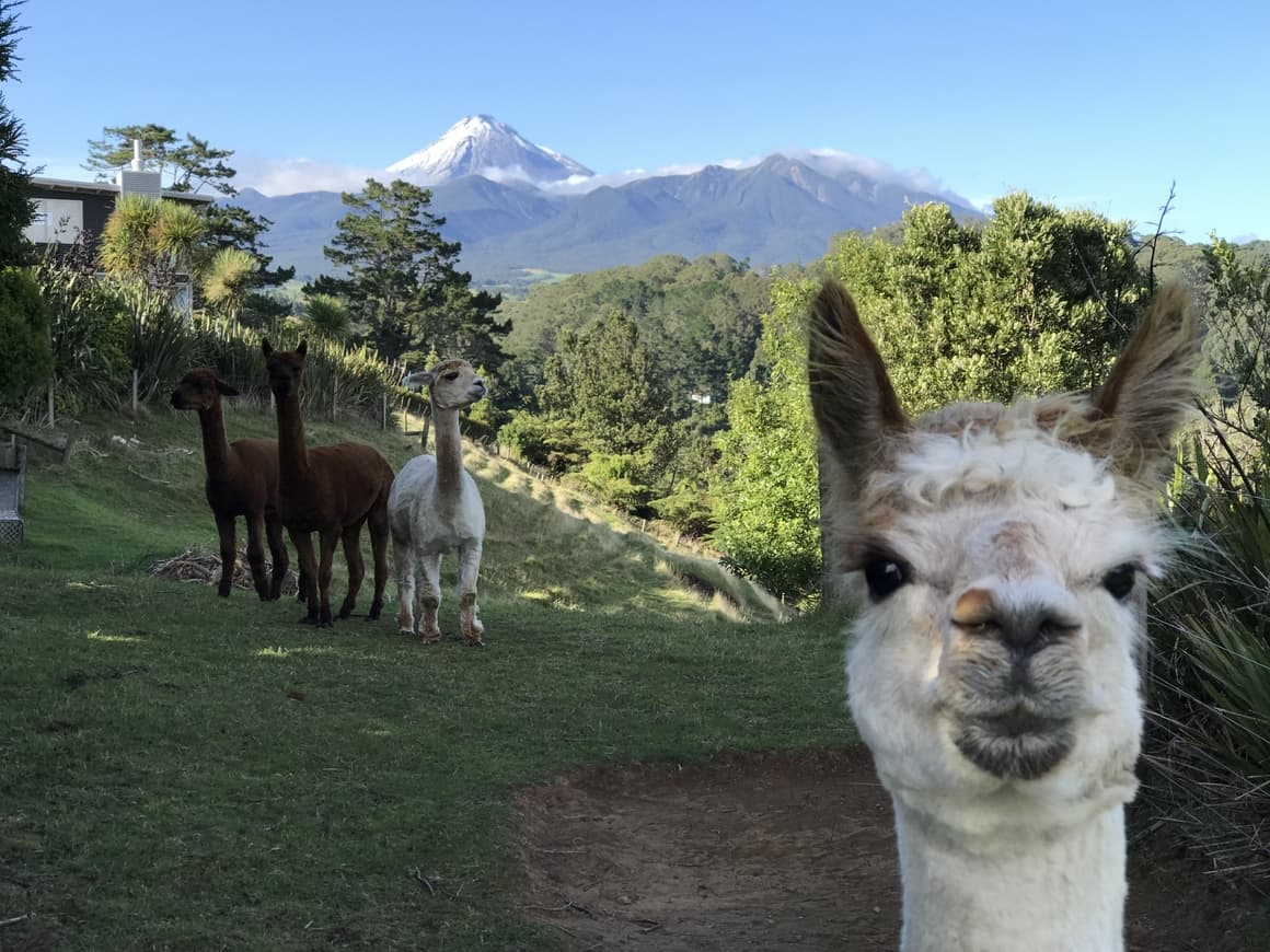 Alpacas in New Zealand.