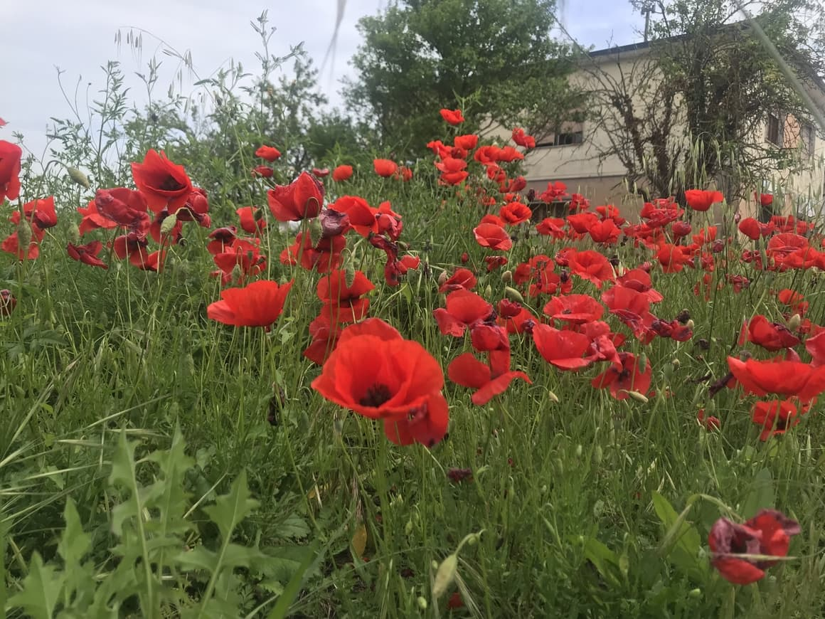 Poppies in Italy. Italy tips for when to travel to see the best flora and fauna