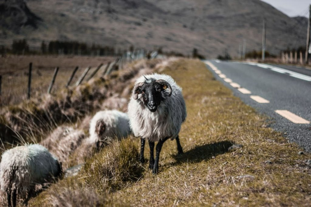two sheep on the road in Ireland