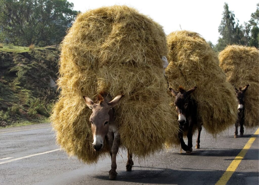 Donkey carrying a load of straw.