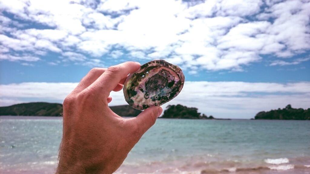 Paua shell from New Zealand
