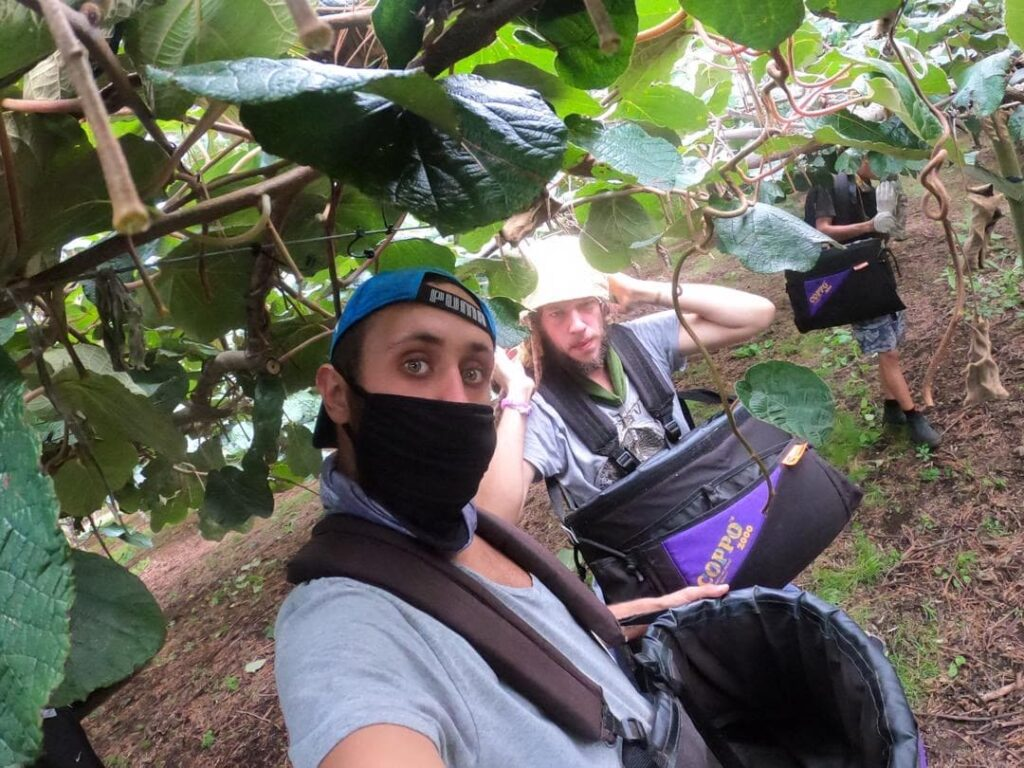 Backpacker picking kiwi fruit in New Zealand