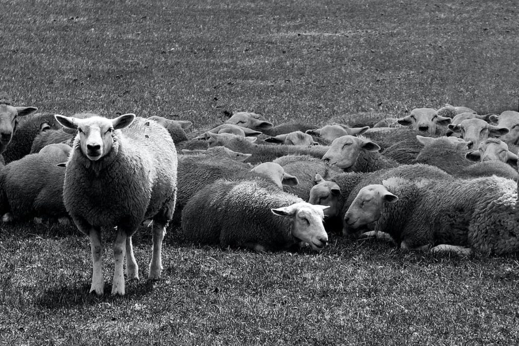One sheep standing out from the rest. Different homeschooling moms